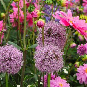 Zierlauch pink