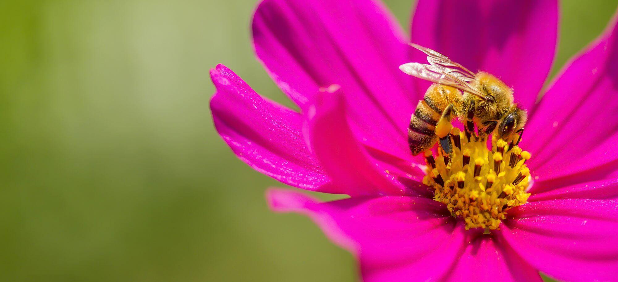 Willich blüht - Hero - Pinke Blume mit Biene